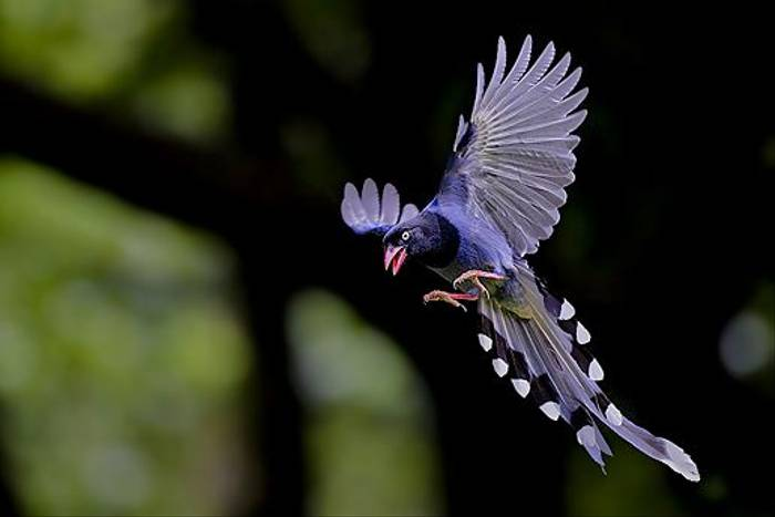 Taiwan Blue Magpie (Richard Foster)