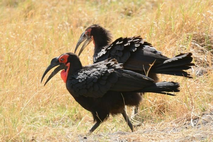 Ground Hornbill - (Rob Thatcher)