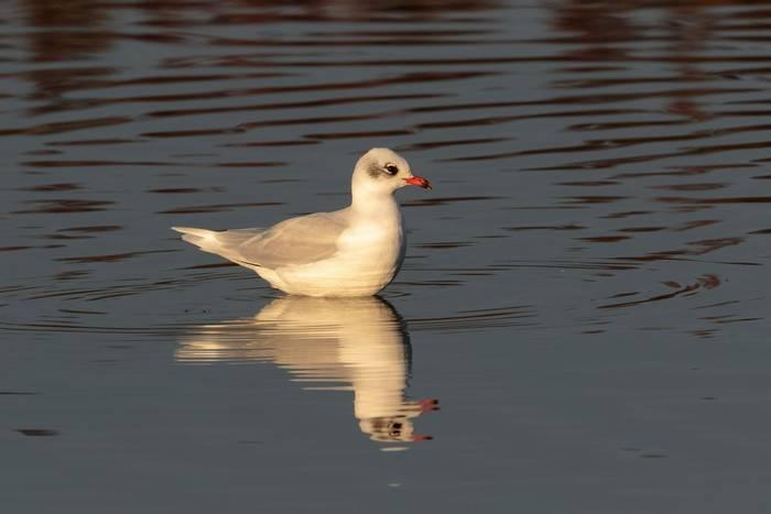 Mediterranean Gull shutterstock_769094941.jpg