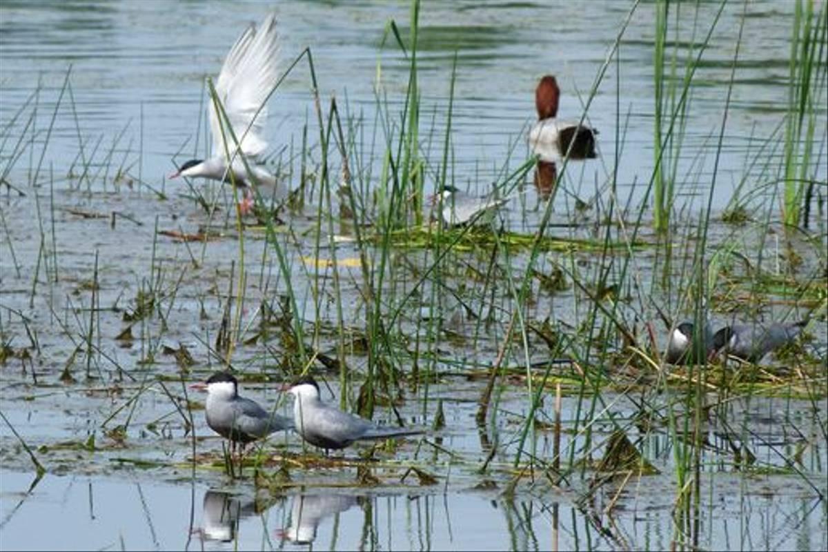 Whiskered Terns and Pochard (Tom McJannet)