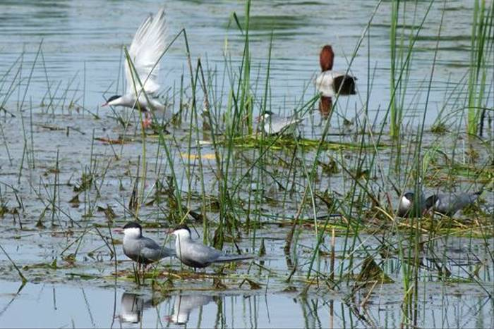 Whiskered Terns and Pochard (Tom McJannet)