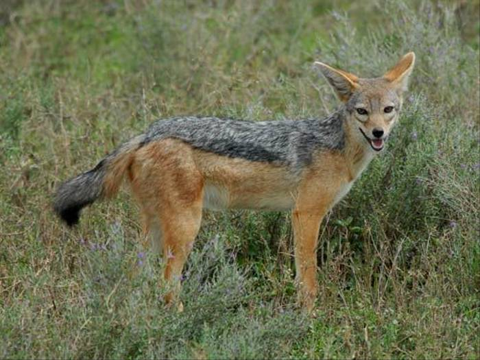 Black-backed Jackal (David Mercer)