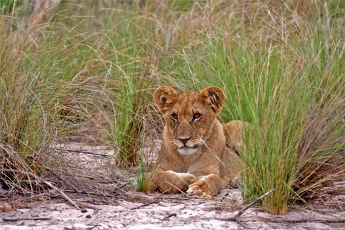 Lion Cub (Grant Atkinson)