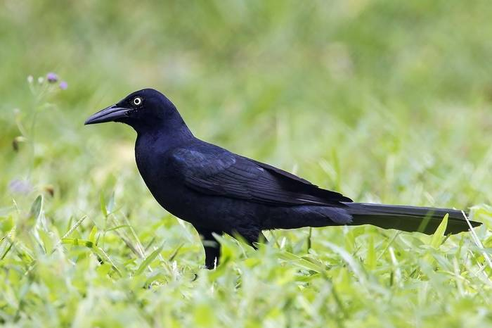 Great-tailed Grackle (Kevin Elsby)