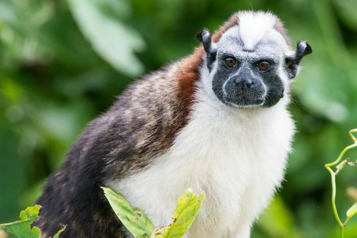 Geoffroy's Tamarin Monkey (Ian Talboys)