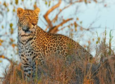 Leopards & Lions - Zambia's South Luangwa through the Lens