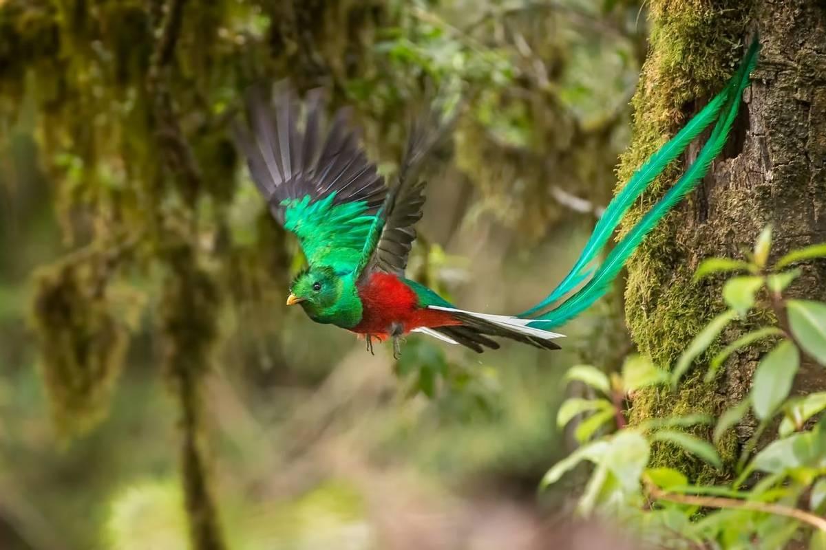 Resplendent Quetzal. Shutterstock 193860626