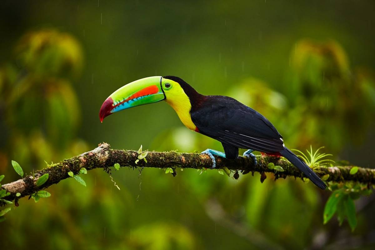 Keel Billed Toucan Shutterstock 1012681942
