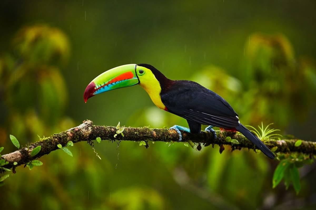 Keel Billed Toucan Shutterstock 1012681942