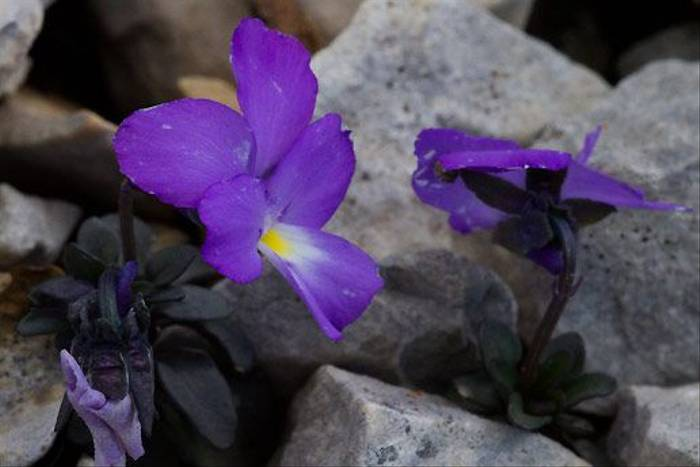 Mount Cenis Violet (Ian Small)
