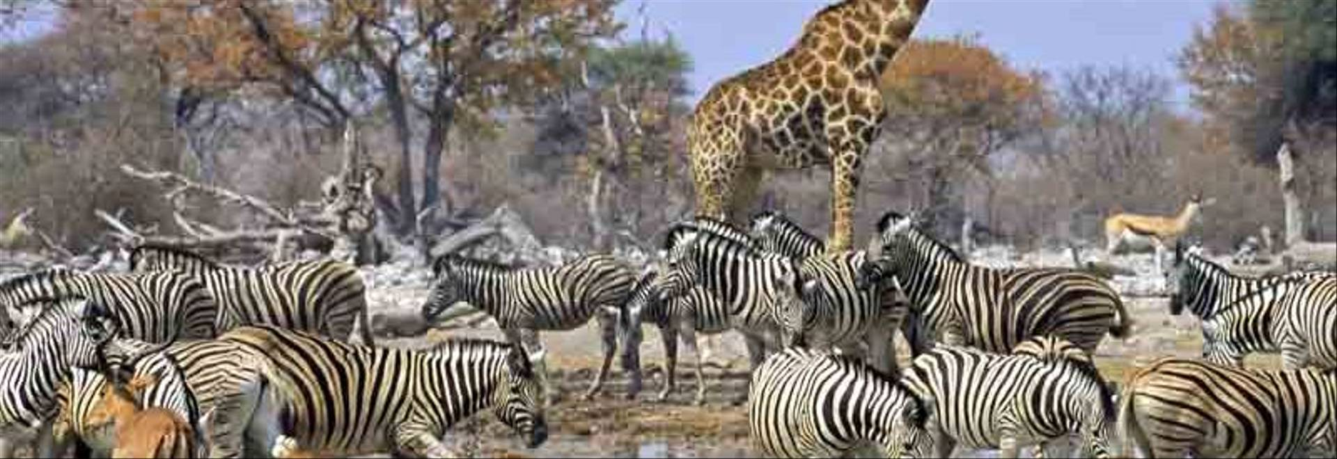 Large group of animals at a waterhole, a drinking place in Etosha, Namibia. The group consists of Burchell's zebras, Springb…