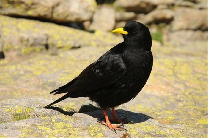 Alpine Chough (David Morris)