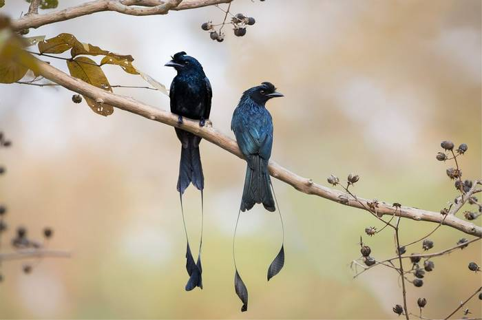 Greater Racket-tailed Drongos, India shutterstock_1141301456.jpg