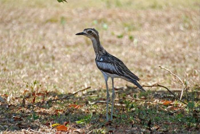 Bush Stone-Curlew (Andrew Rest)