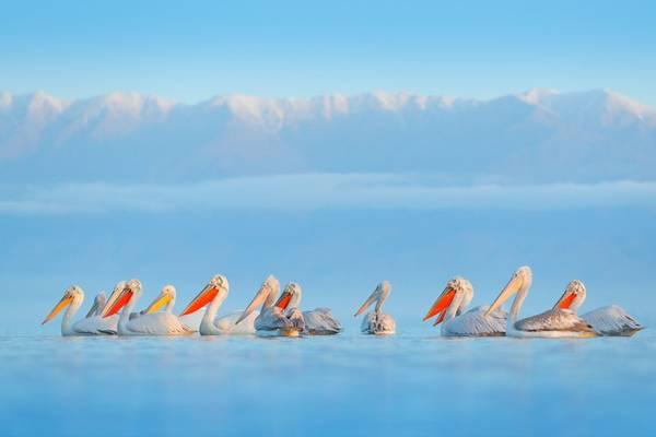 Pelicans, lake Kerkini, Greece shutterstock_1314513275.jpg