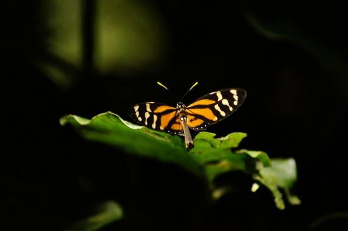 Danalid Butterfly (Brian West)