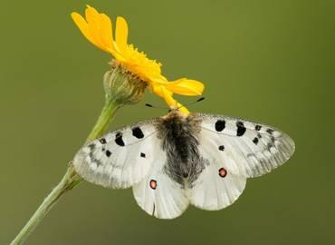 Butterflies of the Swiss Alps