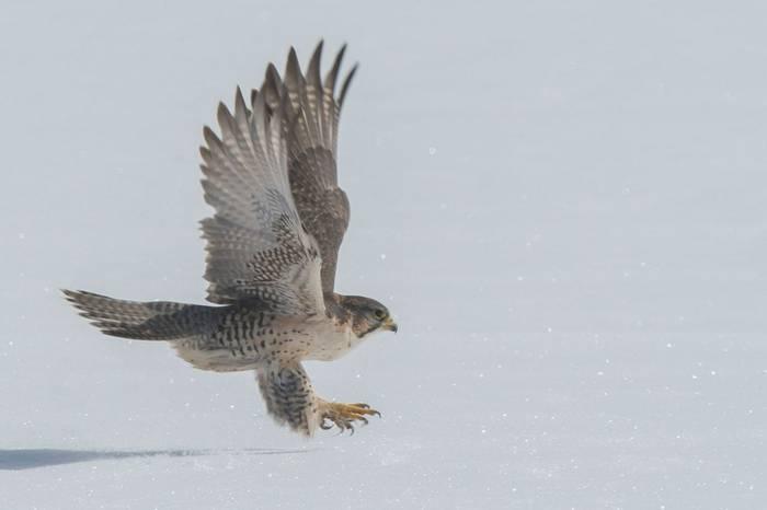 Saker Falcon (Tim Melling)