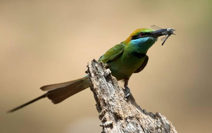 Bee-eater (Karen Malte Nielsen)