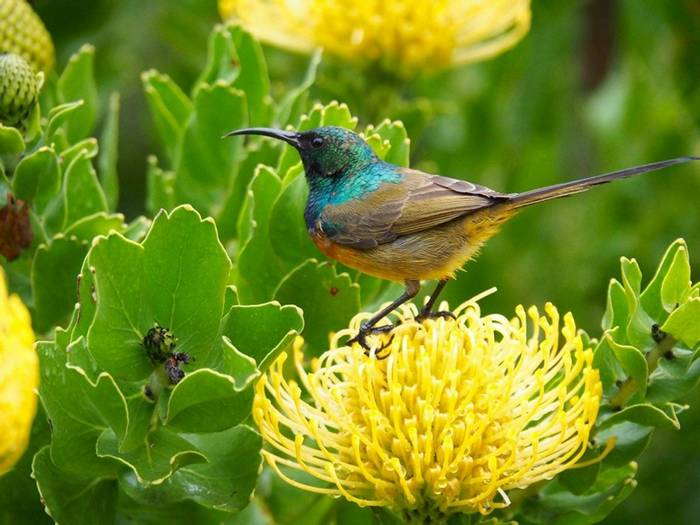 Orange Breasted Sunbird 1 (Nectarinia Violacea) (Lance Tuckett)