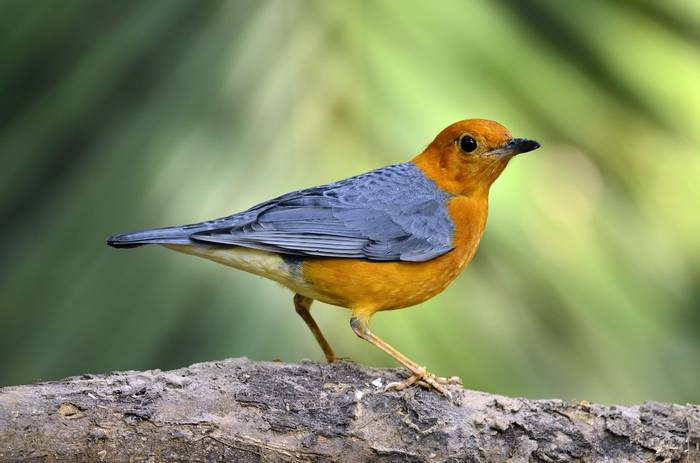Orange Headed Thrush. Shutterstock.