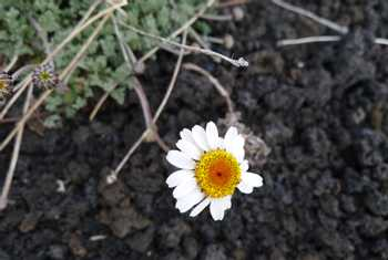 Etna Daisy on lava (Jessica Turner)