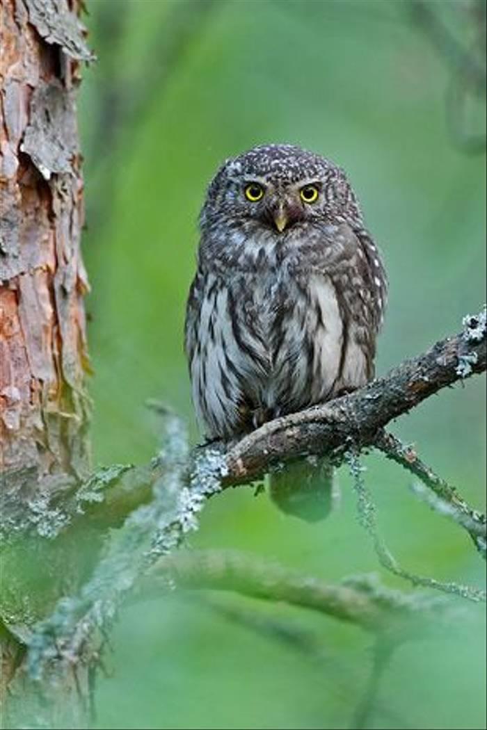 Pygmy Owl (Jari Peltomaki)