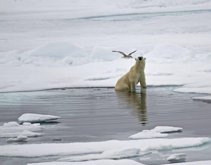 Polar Bear and Ivory Gull (Robin Couchman)
