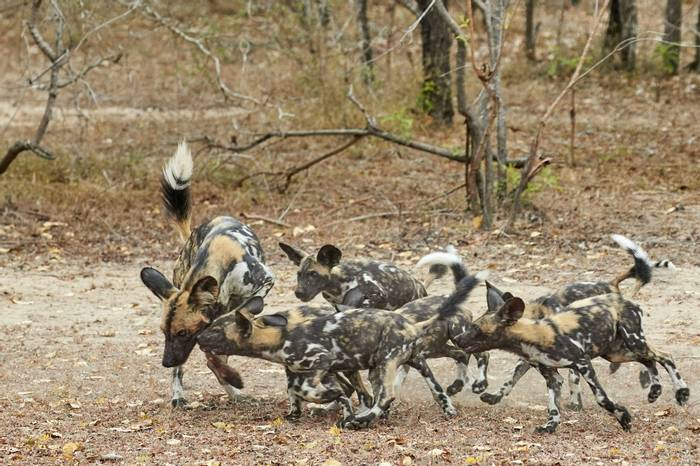 African Wild Dogs (2)