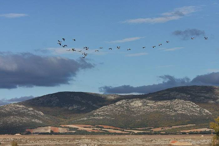 Cranes at Gallocanta (John Willsher)