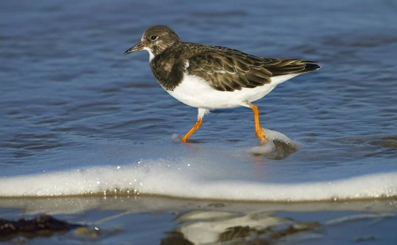 Turnstone Arenaria interpres on tideline