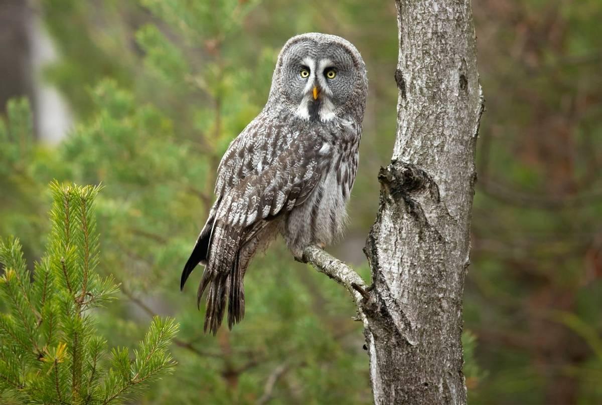 Great-Grey-Owl,-Sweden-shutterstock_1342202483.jpg