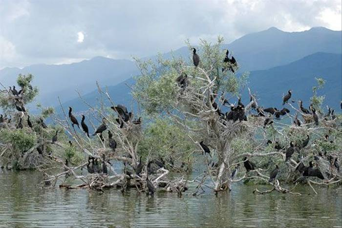 Greater Cormorants