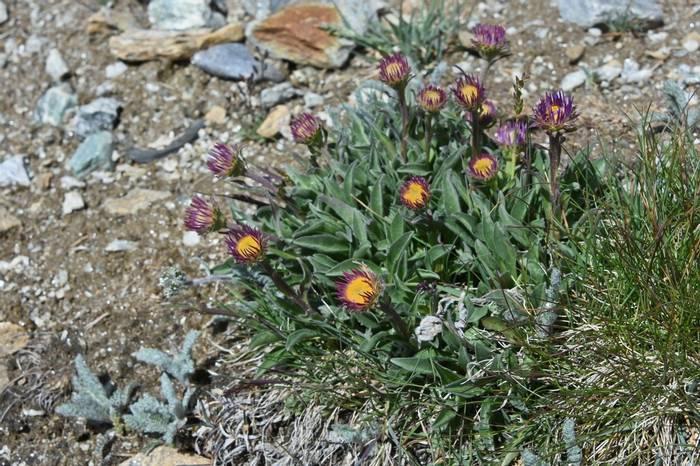 Alpine Fleabane (Erigeron alpinus)