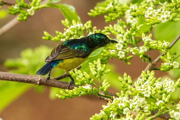 Collared Sunbird (Colin Brown)