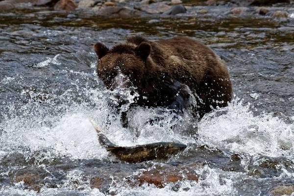 Brown Bear Fishing (Martin Potter)