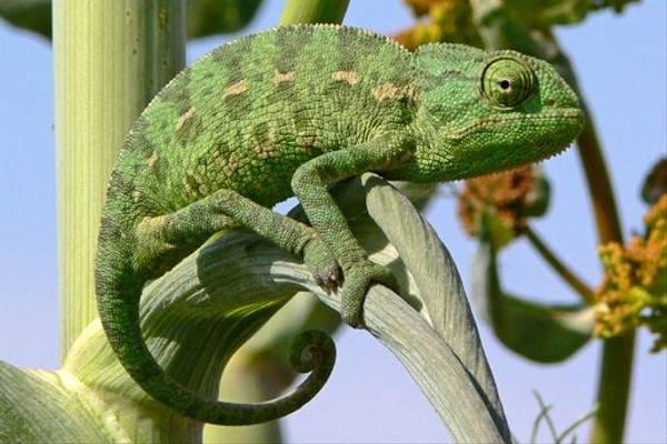 Chameleon sp. (Tim Melling)