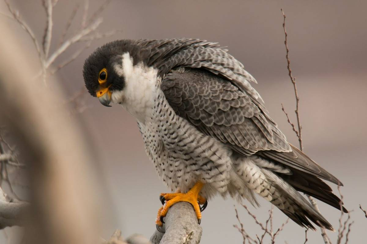 Wildlife - Peregrine - AdobeStock_213081922.jpeg