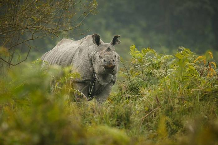 One-horned Rhinoceros, Kaziranga, India shutterstock_388528372.jpg