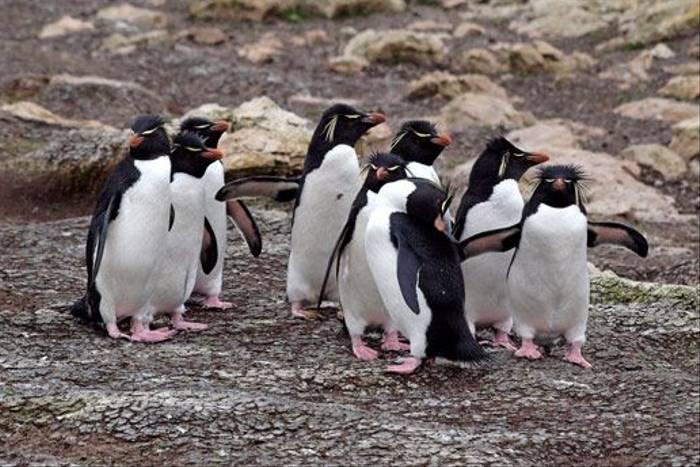 Rockhopper penguins (Peter Nichols)