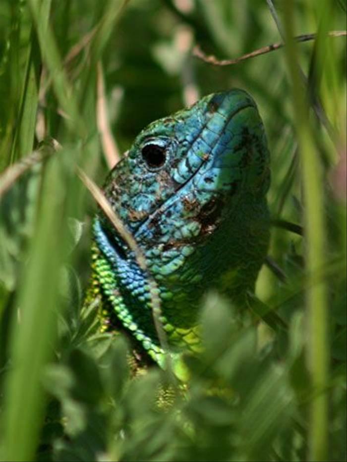 Green Lizard (Paul Harmes)