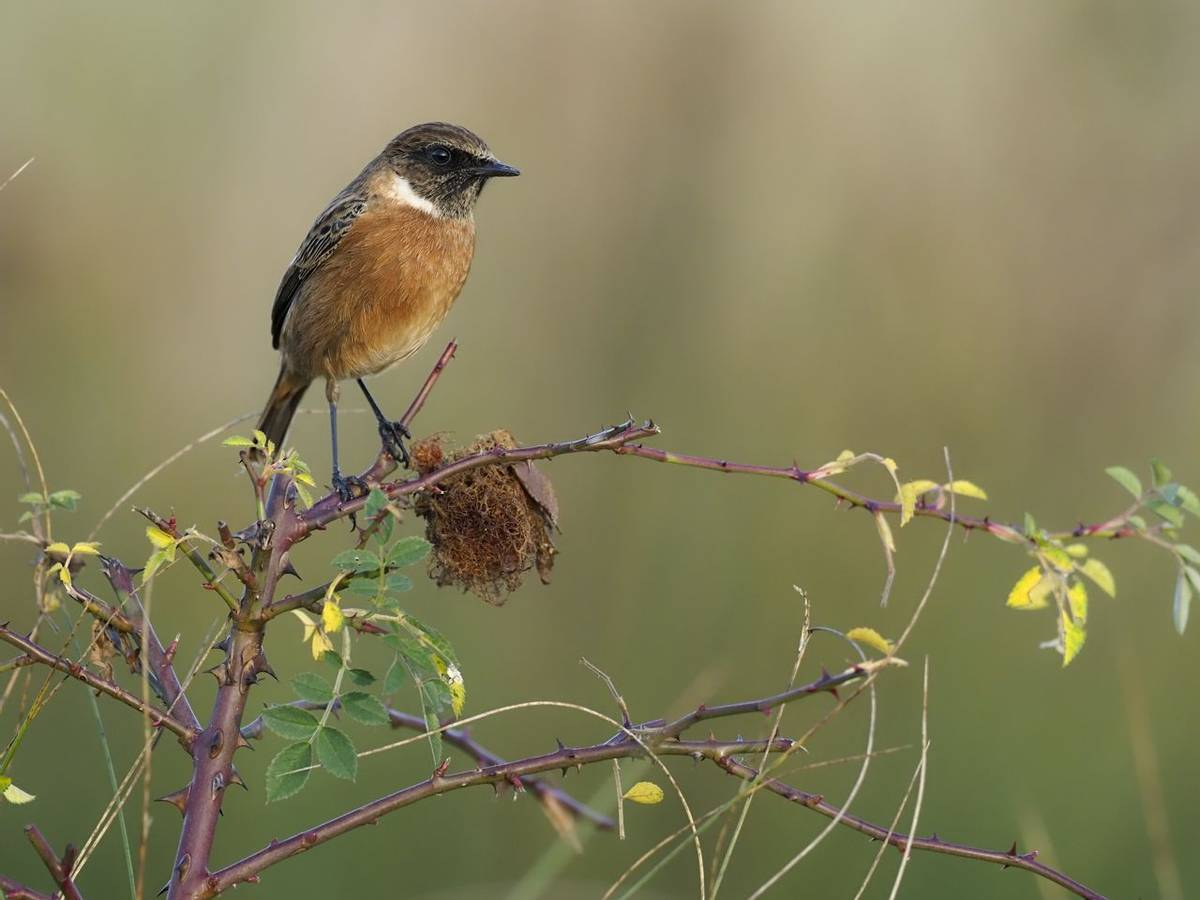 Stonechat, Saxicola rubicola, single male on branch, Warwickshire, November 2019