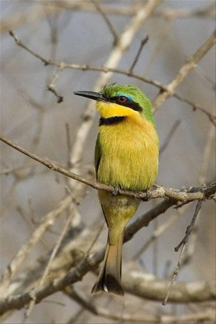 Little Bee-eater (Leon Marais)