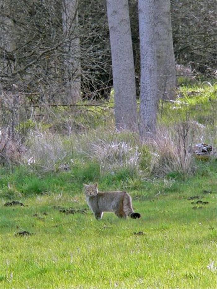 Wildcat (Nacho Zabelzu)