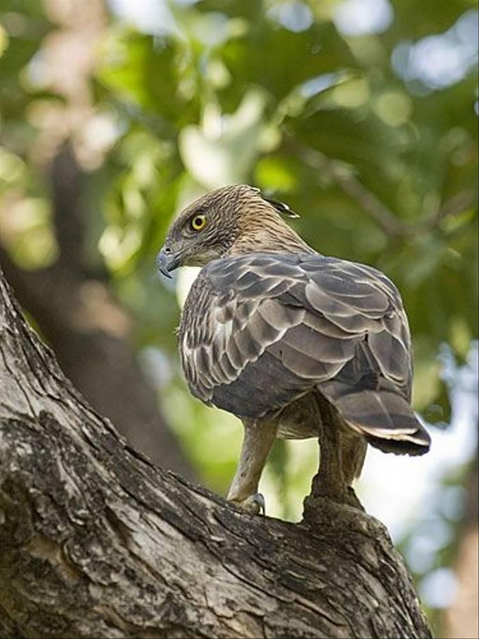 Changeable Hawk Eagle (Paul Marshall)