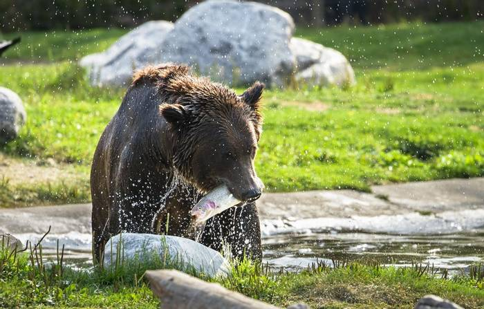 Grizzly Bear, Yellowstone, USA shutterstock_763802893.jpg