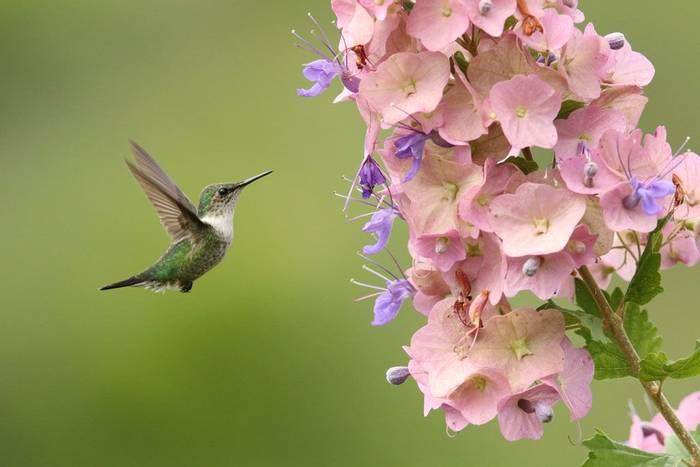 Vervain Hummingbird (Roger Wasley)