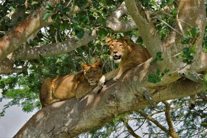 Tree-climbing Lions, Ishasha Plains (Ian and Kate Bruce)