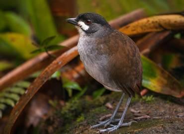 Ecuador - On the Trail of the Jocotoco Antpitta