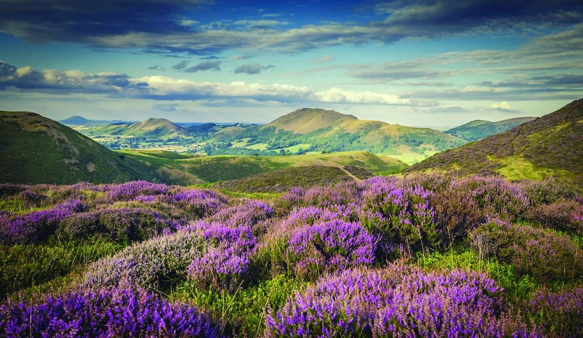 Upland Heathland Landscape at Summer Bloom